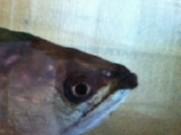 同居の古代魚